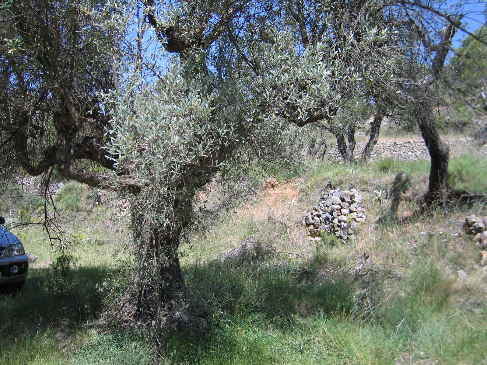 Land planted with almond and olive trees