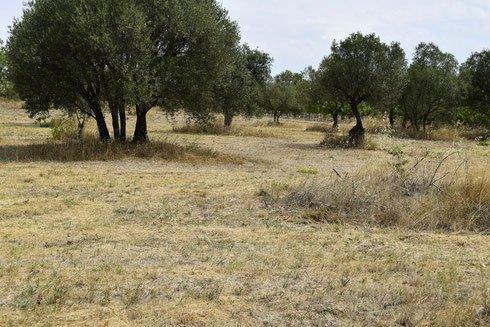TERRAIN AGRICOLE DE 60 OLIVIERS