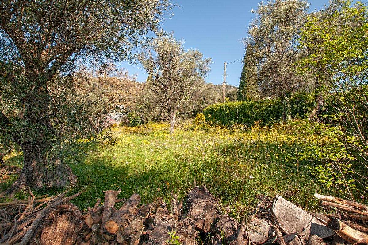 An agricultural plot of terraced land with  many olive trees.